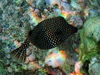 Ticaz - Poisson coffre pintade juvénile Young whitespotter boxfish Ostracion meleagris