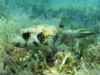 Ticaz - Poisson ballon à taches blanches White-spotted puffer Arothron hispidus